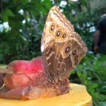 Riesiger Schmetterling der an Früchten kostet