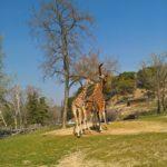 Giraffen am Futtertrog