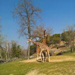 Giraffen im Freilaufbereich