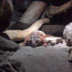 Liegene Reptilie im Terrarium