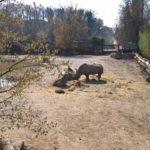 Nashorn im Nashorngehege