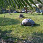 Riesige Galapagos Schildkröte beim grasen