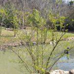 Teich mit schwarzen Schwänen